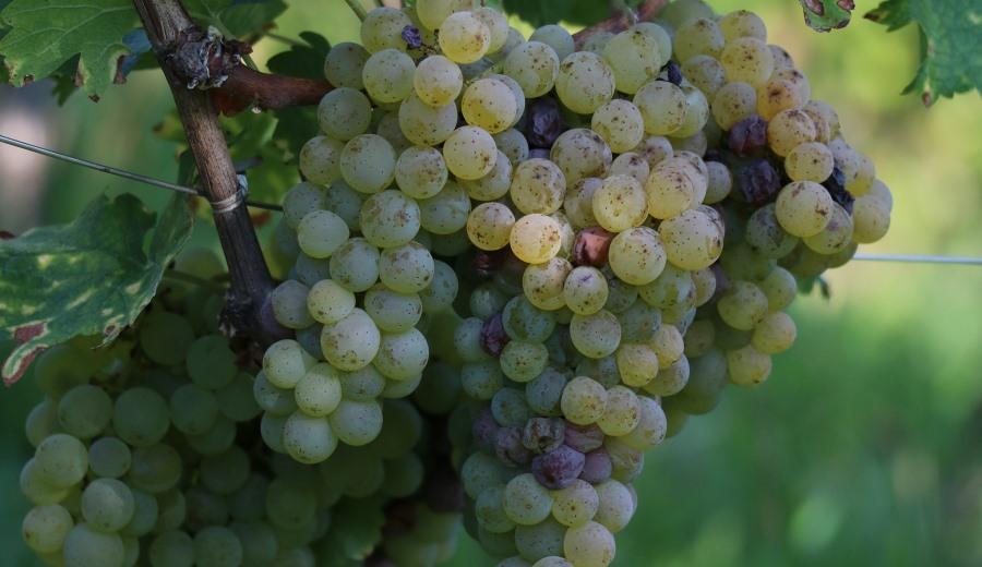 Weintrauben weiss